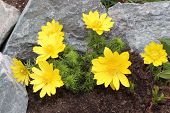 stock photo of adonis  - Flowers adonis blossoming in the garden in early spring