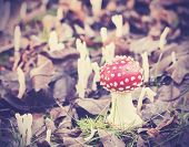 picture of toadstools  - Vintage filtered picture of toadstool in forest - JPG
