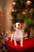 image of christmas dog  - Dog Jack Russell Terrier at the Christmas tree - JPG