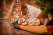stock photo of christmas dog  - Dog Jack Russell Terrier at the Christmas tree - JPG