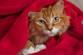 image of snuggle  - Long haired ginger cat snuggled up and hiding in a red fleece blanket - JPG