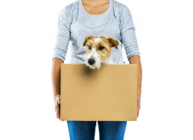 foto of jack-in-the-box  - Unrecognizable woman with her cute parson russell terrier dog in cardboard box moving - JPG