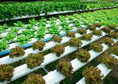 foto of hydroponics  - green lettuce cultivation hydroponics green vegetable in farm - JPG