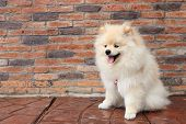 picture of miniature pomeranian spitz puppy  - pomeranian puppy dog cute pet on brick background - JPG