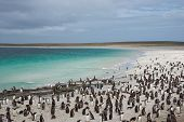 picture of falklands  - Thousands of Gentoo Penguins  - JPG