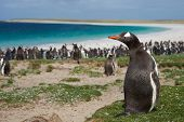 foto of falklands  - Gentoo Penguin  - JPG