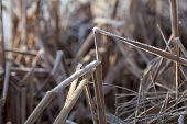 picture of bent over  - Close Up of Dry Frost Covered Reeds Bent Over - JPG