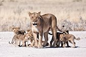 stock photo of scared baby  - A lioness and cubs in nature daytime walking 