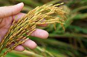 foto of spike  - Rice spike grains on hand in farm - JPG