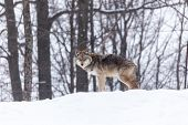 stock photo of coyote  - A lone coyote in a winter scene