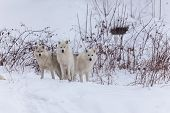picture of horrific  - Several Arctic Wolves in a winter scene  - JPG