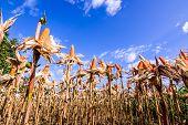 foto of corn stalk  - Dried corn in a corn field against blue sky - JPG