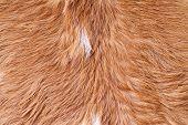 Постер, плакат: Cow Fur skin Texture