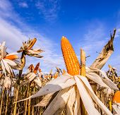 picture of corn stalk  - Dried corn in a corn field against blue sky - JPG