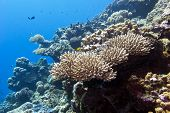 pic of coral reefs  - coral reef with hard corals in tropical sea on a background of blue water - JPG