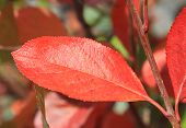 image of chokeberry  - Autumn colors - JPG