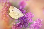 image of lavender plant  - White butterfly on beautiful  lavender in my garden - JPG