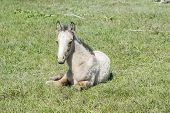 pic of colt  - Free colt lying in the countryside wildlife - JPG