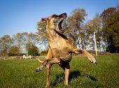 foto of splayed  - Great Dane looking aghast in field on hind legs  - JPG