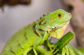 picture of herbivore animal  - Green Iguana  - JPG
