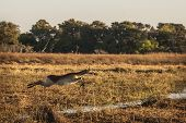 picture of leaping  - Leechwe leaping over a channel in the Okavango Delta - JPG