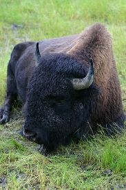 stock photo of wallow  - A relaxing Buffalo on the Great Plains  - JPG