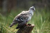 foto of pigeon  - Crested pigeon  - JPG