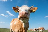 image of calf cow  - Cute cow looking at the camera in the backgrownd group of cows - JPG