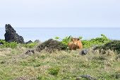 foto of korean  - Korean native cow called Hanwoo lying down on a grass field with the seascape - JPG