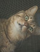 stock photo of tabby cat  - Tabby cat looking inquiringly through a window screen - JPG
