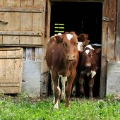 picture of calves  - young calves walking out of a barn - JPG