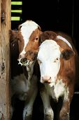 foto of calves  - two young calves looking out of a barn - JPG