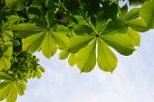image of chestnut horse  - Translucent and green horse chestnut leaves in back lighting on blue sky background - JPG