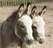 image of burro  - Headshot of two donkeys heads close together - JPG