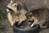 stock photo of omnivore  - Two raccoons eating from a black bowl - JPG