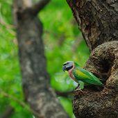 pic of parakeet  - Beautiful bird  - JPG