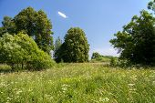 image of linden-tree  - The meadow which overgrew herbs against high trees in the sunny summer day - JPG