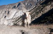 pic of yaks  - Nepalese long haired yak in Himalaya mountains - JPG