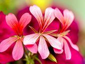 stock photo of geranium  - Closeup of South African Geranium in blossom - JPG