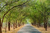 stock photo of tamarind  - tamarind tree tunnel road in Bagan Myanmar - JPG