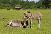stock photo of donkey  - Mother and baby donkey showing love and affection in the New Forest Hampshire England UK in the summer sunshine - JPG