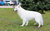 picture of swiss shepherd dog  - The White Shepherds stands in the park on the grass - JPG
