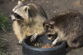 foto of omnivore  - Two raccoons eating from a black bowl - JPG