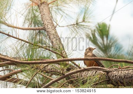 Bird With Orange Belly Between The Green Tree Vegetation. Bird Perched On Tree Branch Looking Around