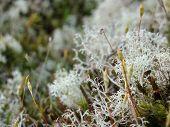 foto of caribou  - close up of Cladonia rangiferina Reindeer lichen Caribou moss - JPG
