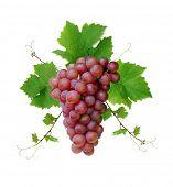 pic of wine grapes  - Ornamental motif of pink wine grape - JPG