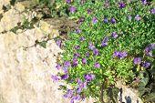 picture of lobelia  - Trailing lilac lobelia over dry stone wall focus on flowers - JPG