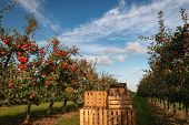 Crates In Orchard Full Of Apple Trees With Ripe Apples Ready For Harvest poster