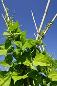 pic of green-beans  - Green beans plants in agricultural land - JPG
