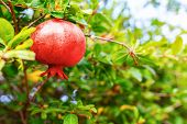 Close-up Of Ripe Red Pomegranate Fruit On Pomegranate Tree poster